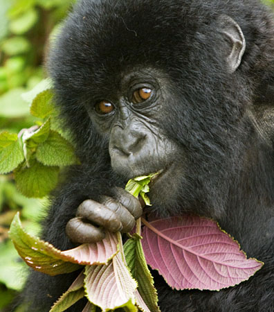 gorilla22