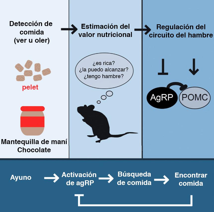 agRP-POMC
